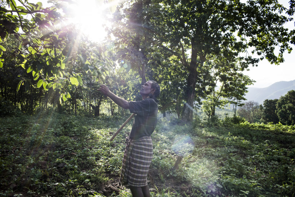 Mr. Loknath Nauri, who was part of the GHI study 2016, checks the fruit tree close to a natural forest which he left on his plot for foraging mushrooms, tubers and medicinal plants and herbs in Kerendiguda village, Odisha, India.